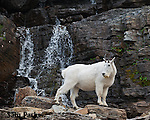 Mountain goat nanny and waterfall. Glacier National Park, Montana.