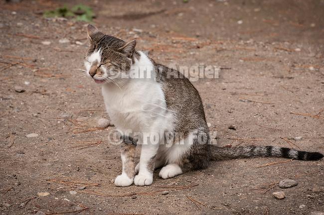 Djurdjevi Stupovi monastery near Novi Pazer--monastery cat
