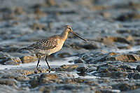 A female Bar-tailed<br /> Godwit foraging on the mudflats around the  industrialized Yalu<br /> estuary in China; virtually the entire North American population of Bar-tailed Godwits make<br /> a single stop at these mudflats where they refuel for about a month on their northward<br /> migration. Yalujiang, China. April.