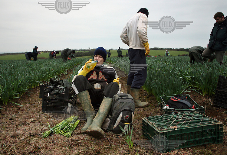 A migrant worker from Eastern Europe takes a break from picking daffodils in Cornwall.