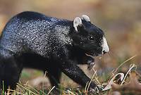 Eastern Fox Squirrel (Sciurus niger), adult digging for food, Raleigh, Wake County, North Carolina, USA