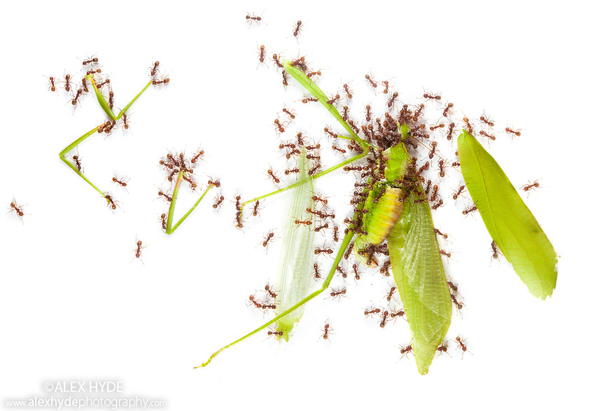 Ants dismembering a dead cricket. Photographed on a white background. Danum Valley, Sabah, Borneo. Sequence 3 of 6.