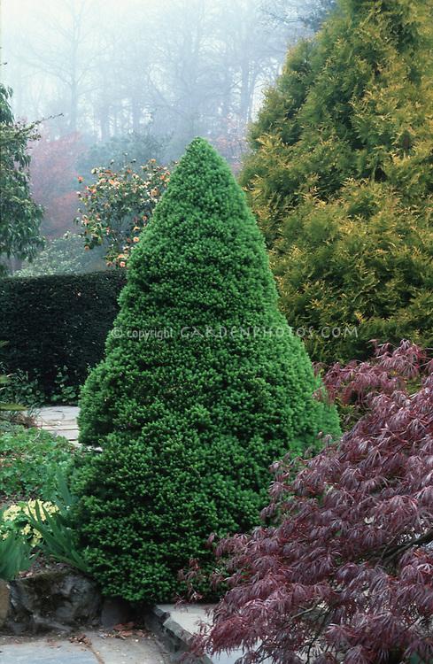 Picea glauca var. albertiana 'Conica'