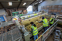 Grading Maris Piper potatoes for long term storage - Lincolnshire, October