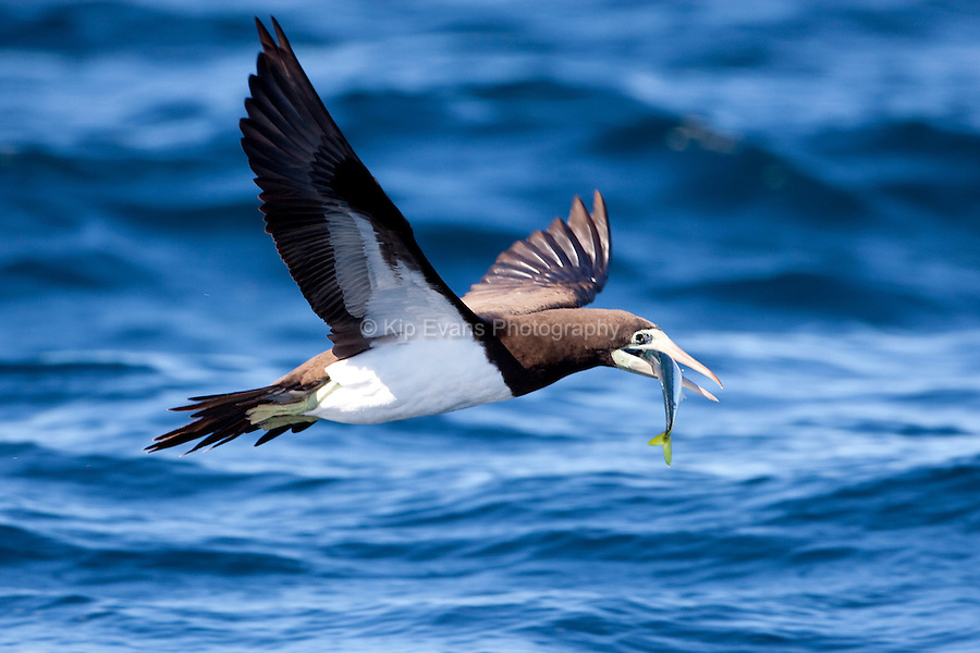 A brown booby (Sula leucogaster) catches a fish in Kino Bay, Mexico.