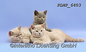 Marek, ANIMALS, REALISTISCHE TIERE, ANIMALES REALISTICOS, cats, photos+++++,PLMP6403,#a#, EVERYDAY