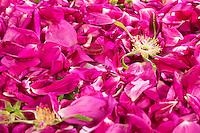 Rosenblüten, Rosenblüte, Wildrosenblüten, Blütenblätter, Rose, Rosen, Blütenblätter trocknen, Blüten trocknen, Ernte, Wildkräuter trocknen, Blütentee, Rosenblütentee. Kartoffel-Rose, Kartoffelrose, Runzel-Rose, Runzelrose, Rose, Rosa rugosa, Japanese Rose