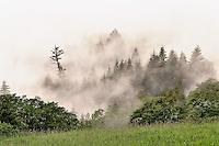 Evergreen tree among fog, Bald Hills Road, California