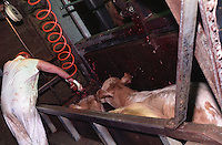 Photos taken inside Centennial Packers, a meat-packing plant in Calgary, Alberta, Canada showing a slaughter house worker using a captive bolt gun on the first of two cows in the killing pen in 1989. (© Karen Ducey Photography)