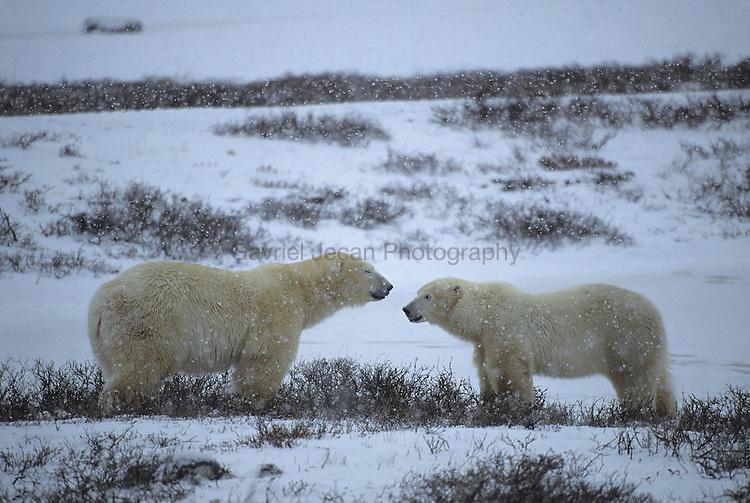 Polar Bears (Ursus maritimus) Canada