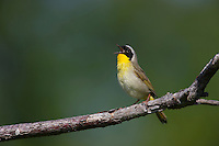 Common Yellowthroat (Geothlypis trichas trichas), male in breeding plumage singing to defend it's territory.