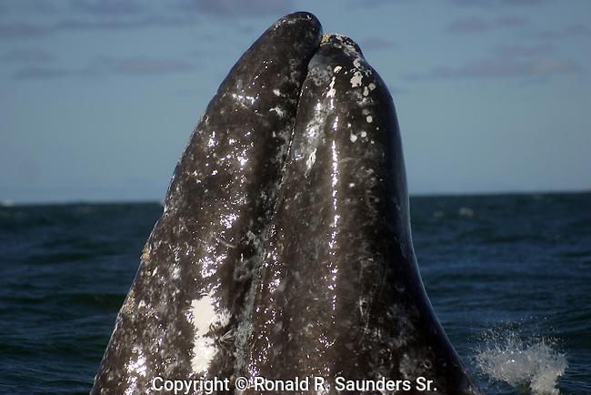 California Gray Whale breeches