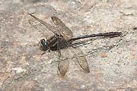 Ashy Clubtail (Gomphus lividus) - Male, Ward Pound Ridge Reservation, Cross River, Westchester County, New York