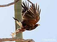 0405-1203  Harris's Hawk Taking Flight, Harris Hawk (Bay-winged Hawk or Dusky Hawk), Parabuteo unicinctus  © David Kuhn/Dwight Kuhn Photography
