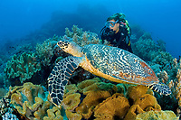scuba diver and hawksbill turtle, Eretmochelys imbricata, Critically endangered (IUCN), Rock Point East Reef, Apo Island, Dumaguete, East Negros Island, Central Visayas, Philippines, Pacific Ocean
