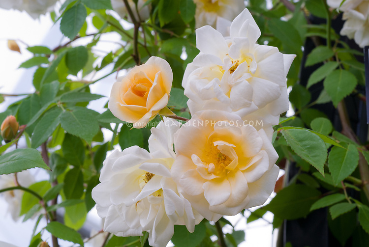 Rosa 'Goldfinch' roses yellow cream white, multiflora rambling rose, rambler