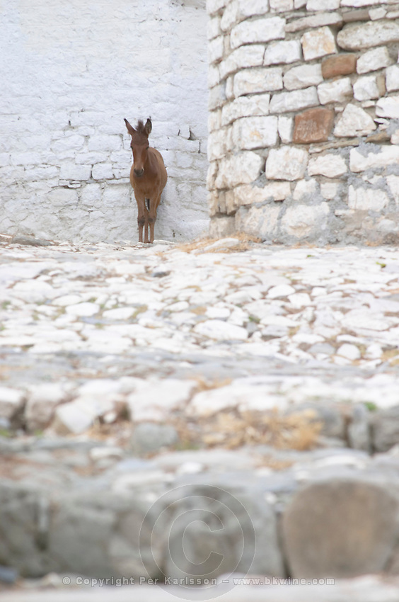 A lone donkey ass standing on a cobble stone street against white washed stone walls. Berat upper citadel old walled city. Albania, Balkan, Europe.
