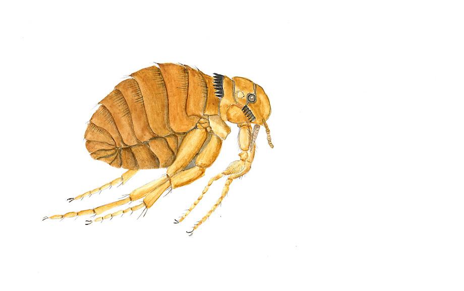 Konijnenvlo (Spilopsyllus cuniculi)