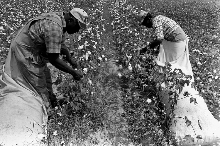 Couple picking cotton on farm of Minnie Guise in Mt. Meigs, Ala. Photo by Jim Peppler taken for two essays published in The Southern Courier on September 10, and Sept. 17, 1966. Copyright Jim Peppler/1966. This and over 10,000 other images are part of the Jim Peppler Collection at The Alabama Department of Archives and History:  http://digital.archives.alabama.gov/cdm4/peppler.php