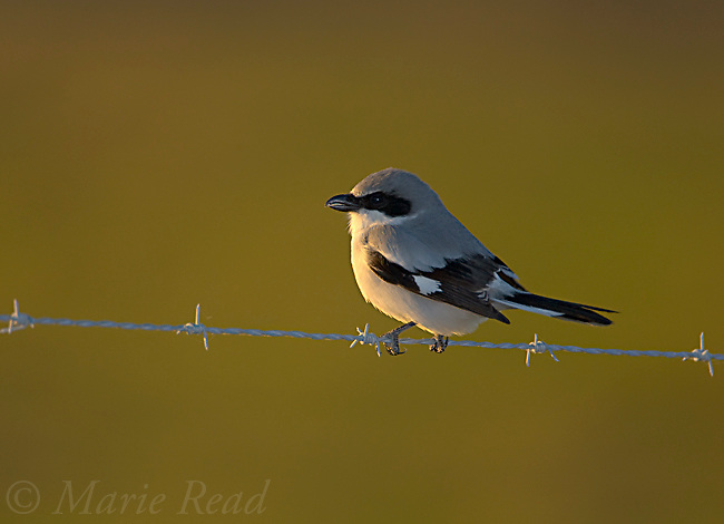 Loggerhead Shrike (Lanius ludovicianus), perched on barbed wire fence, backlit with fill-flash, Florida, USA