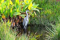 Great Blue Heron wading in wetlands located at Wakodahatchee Wetlands, Delray Beach, Florida.