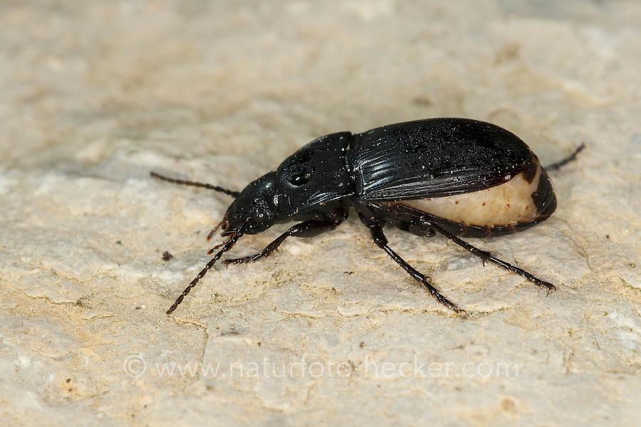 Ovaler Breitkäfer, Ovaler Schulterläufer, Laufkäfer, Weibchen kurz vor der Eiablage mit dickem Hinterleib, Abax cf. ovalis, ground beetle, carabid beetles
