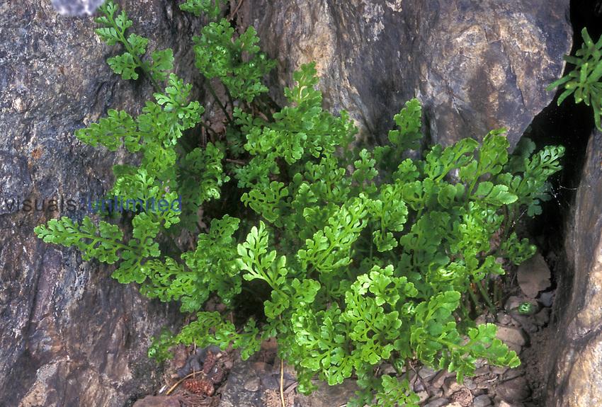 Cascade Parsley Fern or Cascade Rockbrake (Cryptogramma cascadensis), Sierra Nevada Range, California, USA