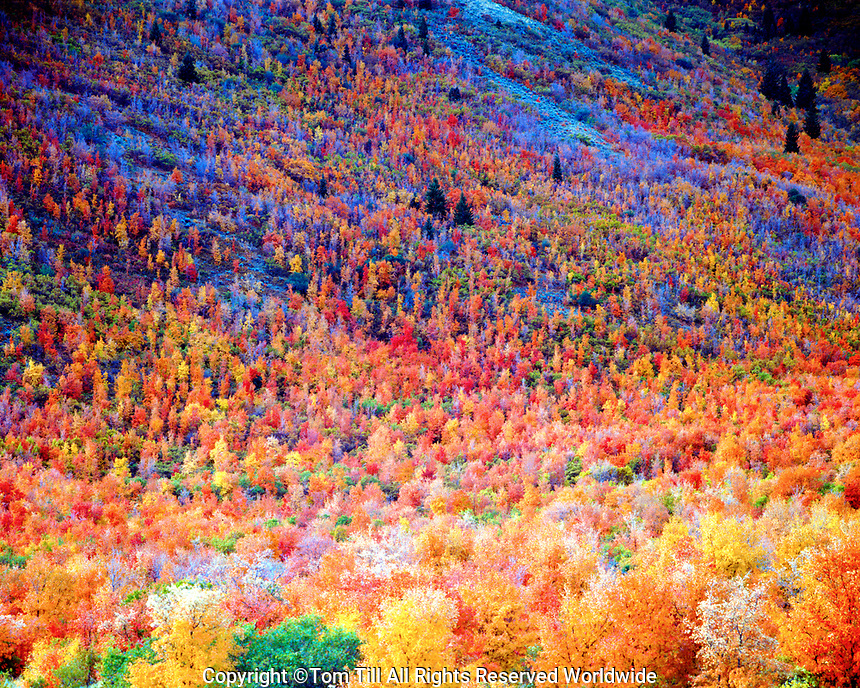 Fall color in the Wasatch Mountains, Uinta National Forest, Utah, Maples and Oaks