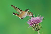 Rufous Hummingbird, Selasphorus rufus, female in flight feeding on thistle, Paradise, Chiricahua Mountains, Arizona, USA