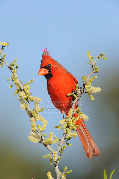 Northern Cardinal (Cardinalis cardinalis), adult male on blooming Blackbrush Acacia (Acacia rigidula), Dinero, Lake Corpus Christi, South Texas, USA
