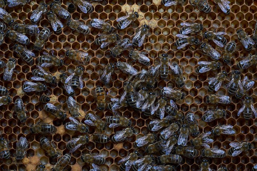 On a frame of wax cells, nurse bees watch over young bee larvae.- Sur un cadre de cellule de cire, les nourrices veillent sur de jeunes larves d'abeilles