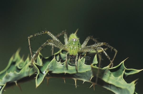 Green Lynx Spider (Peucetia viridans), adult, Starr County, Rio Grande Valley, Texas, USA