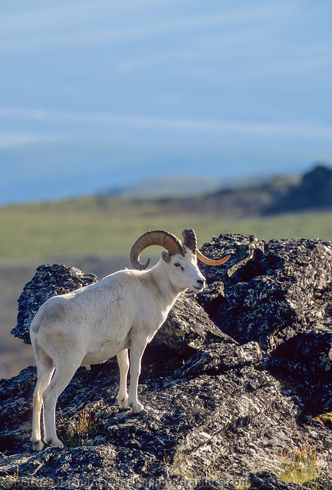 Dall sheep ram stands on an outcrop, on a mountain ridge in Denali National Park, Alaska