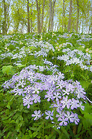 Wild blue phlox, wildflowers in bloom, Shenk's Ferry Wildflower Preserve, Pennsylvania