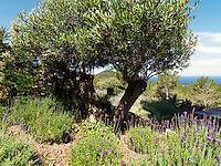 Beds of lavender interspersed with gnarled olive trees fill the terraced garden