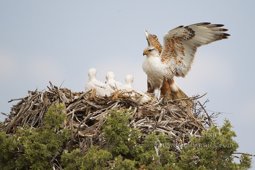 A Ferruginous Hawk brings prey to his waiting young.