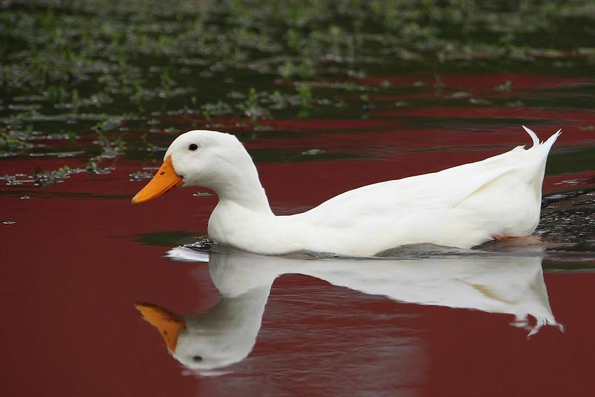 Domestic white goose (Anser anser domesticus or Anser cygnoides)