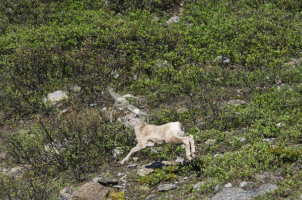 Bighorn Sheep or Mountain Sheep (Ovis canadensis) lamb.  Northern Rockies.  June.