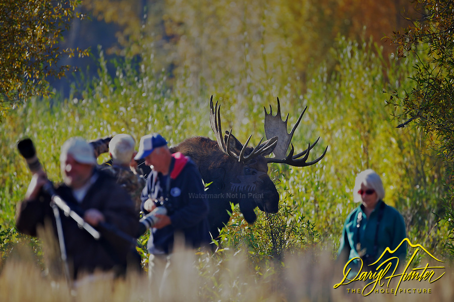 Bull moose chasing people in Grand Teton National Park