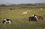 Cattle grazing on lowland marsh pasture south of Southwold, Suffolk, England