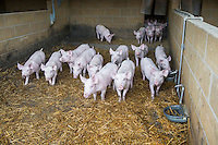 Weaner piglets indoors on straw bedding - Lincolnshire