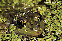 FR18-010b  Green Frog - adult in duckweed pond - Lithobates clamitans, formerly Rana clamitans