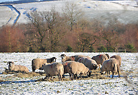 Swaledale ewe feeding on hay in the snow, Whitewell, Lancashire...Copyright..John Eveson, Dinkling Green Farm, Whitewell, Clitheroe, Lancashire. BB7 3BN.01995 61280. 07973 482705.j.r.eveson@btinternet.com.www.johneveson.com