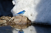 Male Mountain Bluebird (Sialia currucoides) looking for insects on late melting mountain snowbank along edge of stream.  Western U.S., May.