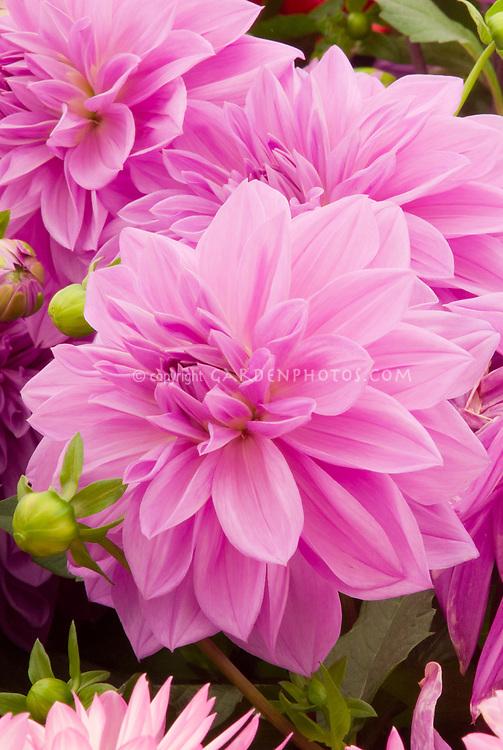 Dahlia Sascha Waterlily Dahlia Plant Flower Stock Photography