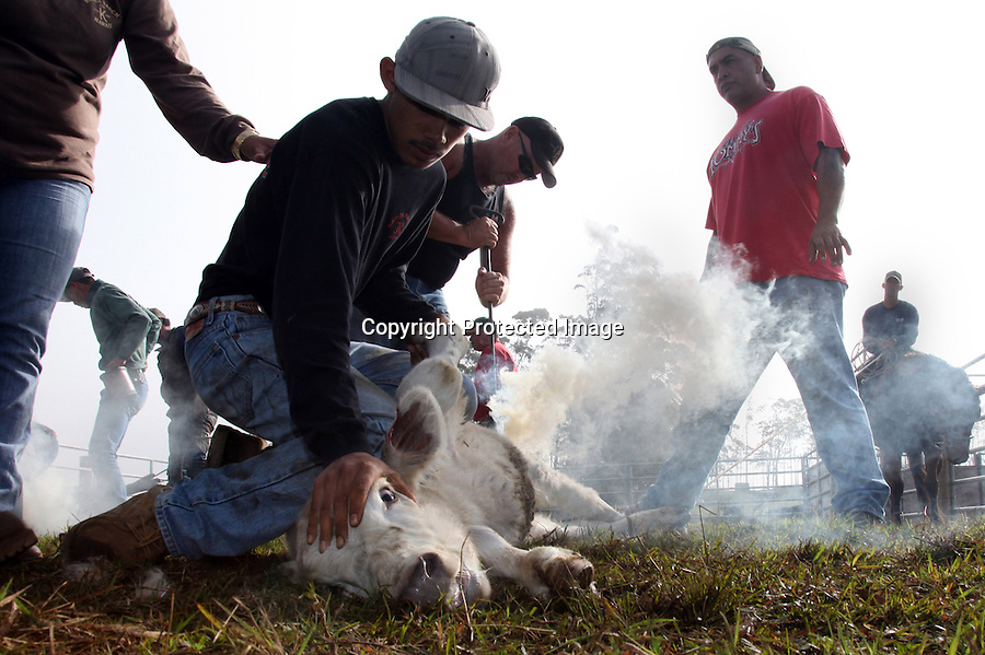 "Brandings require a lot of manpower so the paniolo community comes together during branding season.  While the cowboys do most of the separating and roping, family members and friends volunteer for the less skilled work such as holding down a calf or spraying iodine on it once it has been castrated. ""Everyone know what their role is,"" says Goddfrey Kainoa, one of whose calves is being branded here.  Kainoa, who, through the Haiwaiian Homelands Commission Act, leases a piece of land on which he raises a small herd of cattle in Waimea, Hawaii and is one of the original descendents of the Mexican vaqueros who taught the Hawaiians their cowboys skills."