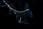 Siphonophore  w sticky tentacles, Plankton; larval fish; pelagic larval marine life, off SE Florida; Gulf Stream Current; Atlantic Ocean;