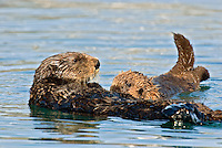 Sea Otters (Enhydra lutris)--mom with pup.