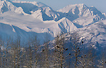 Bald eagles roost among the cottonwoods, Chilkat River Valley, Alaska