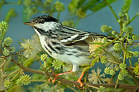 591510014 a wild male blackpoll warbler setophaga striata - was dendroica striata - in breeding plumage perches in a flowering tree on south padre island texas united states